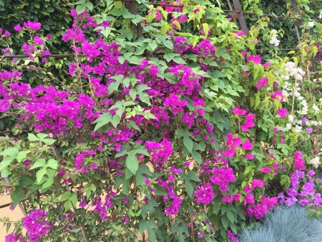 Les Jardin des Bougainvilliers - a garden filled with bougainvillea in all their diversity - I particularly liked the soft pink variety