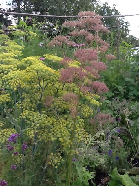 bronze fennel going to seed