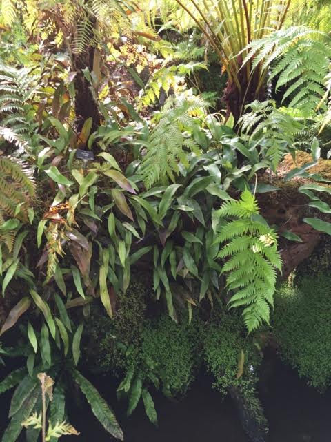 ferns in the fernery