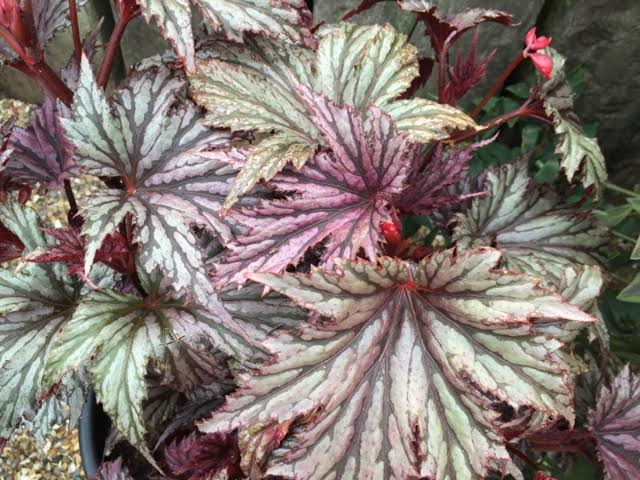 begonia called Garden Angels