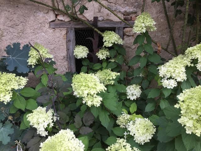 white hydrangea in flower