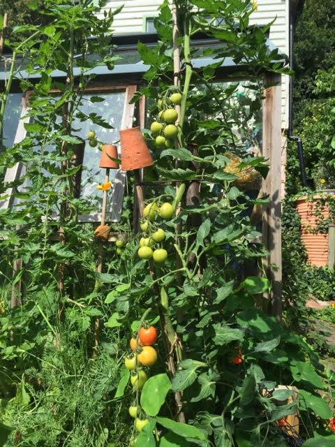 outdoor tomatoes
