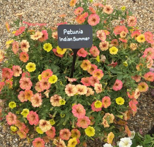 Indian Summer Petunia