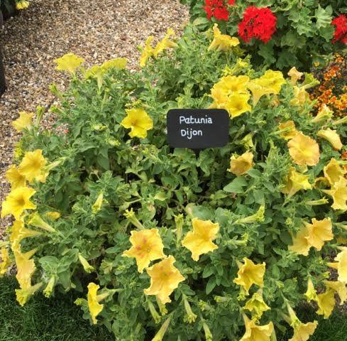 mustardy-coloured Dijon Petunia
