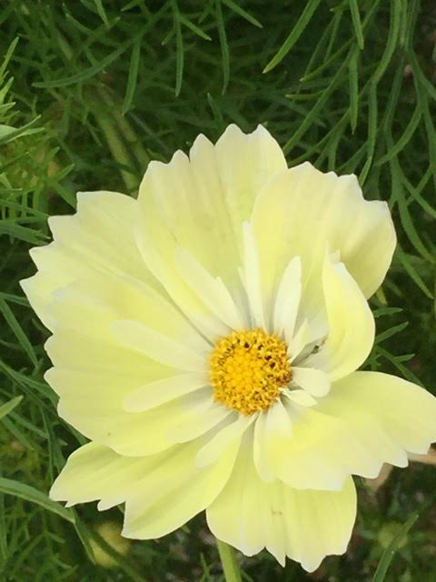new soft yellow cosmos