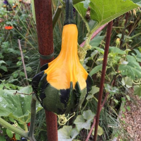 green and yellow gourd