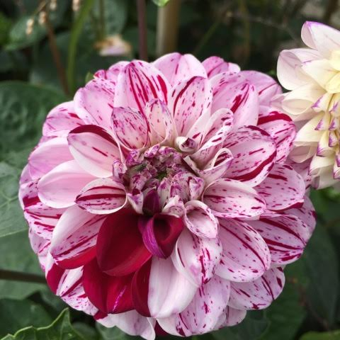 pink speckled dahlia