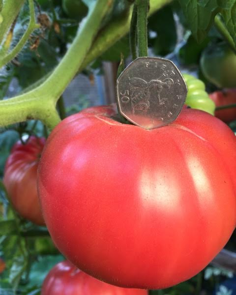 brandywine tomato with 50p as a scale