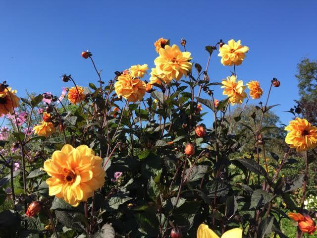 yellow dahlias against blue sky