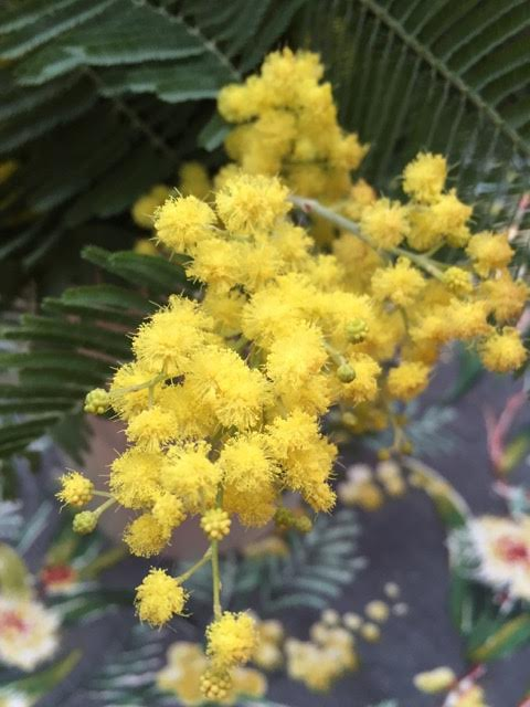 close up on mimosa flowers