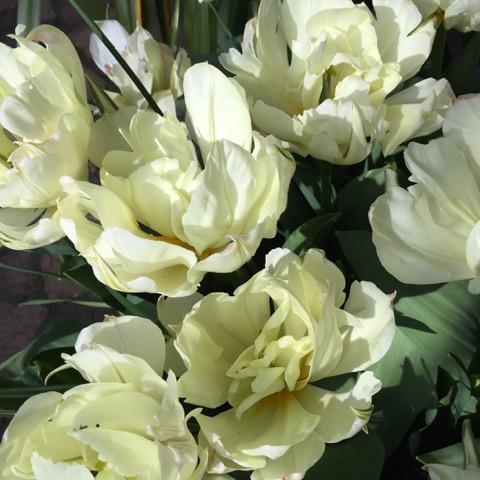 cream-tulip