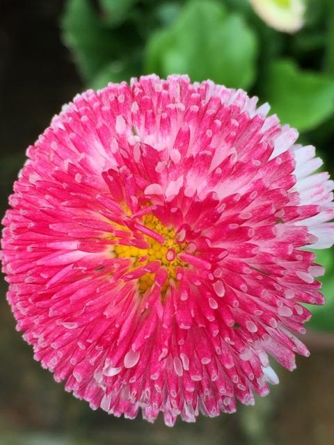 pink bellis daisies