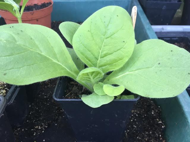 Nicotiana mutabilis seedling in greenhouse