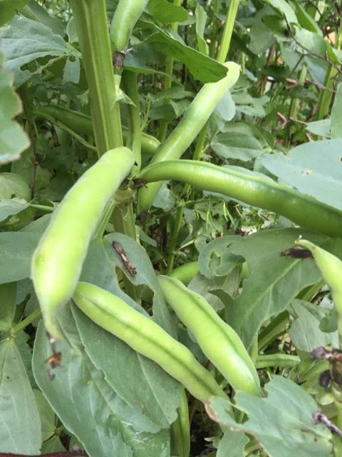 broad beans almost ready