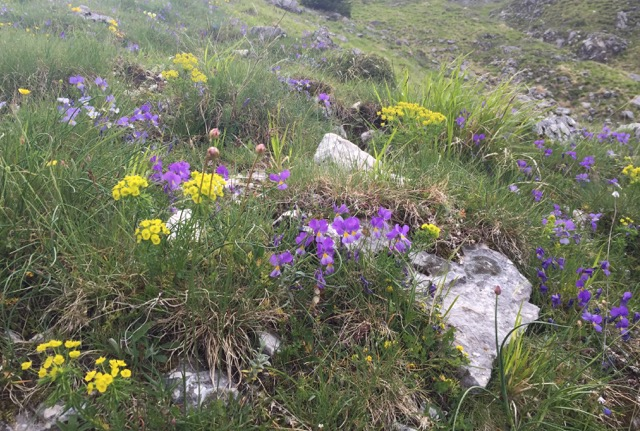 close up of alpines in Abruzzo National park