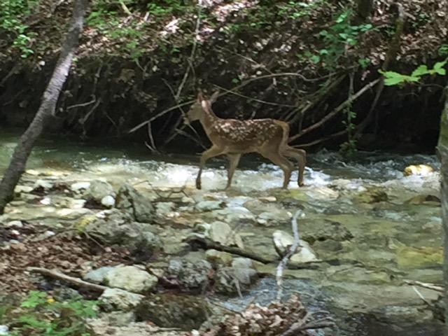 deer roaming wild
