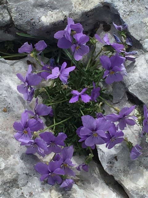 Mountain Pansy - blue at altitude, yellow lower down