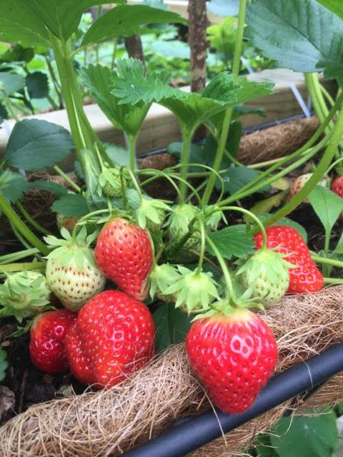ripe strawberries ready for picking