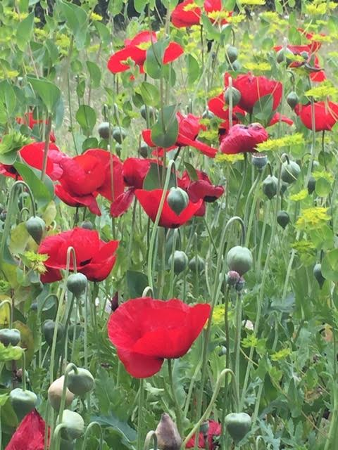 The Turkish Tulip Poppy - Papaver glaucum, long-flowering and named because of the (upside-down) tulip-shaped buds.