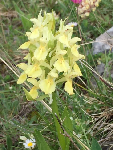 yellow elderflower orchid