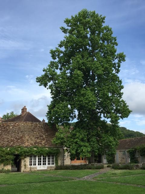 Despite its height, judging from the size of its trunk this tulip tree may have been planted by Page