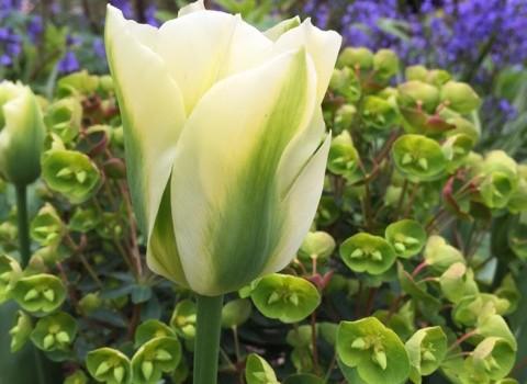 Talking Tulips
