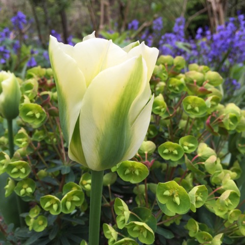 tulip and euphorbia