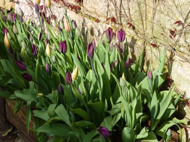tulips in border