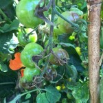 Not so Blight Tolerant Tomatoes