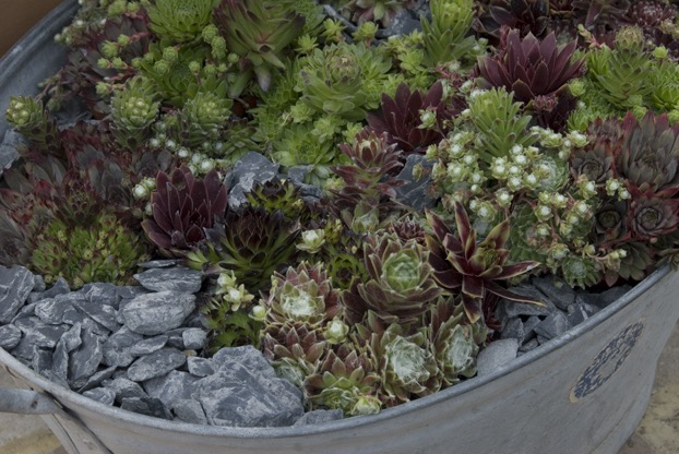 sedums in planter