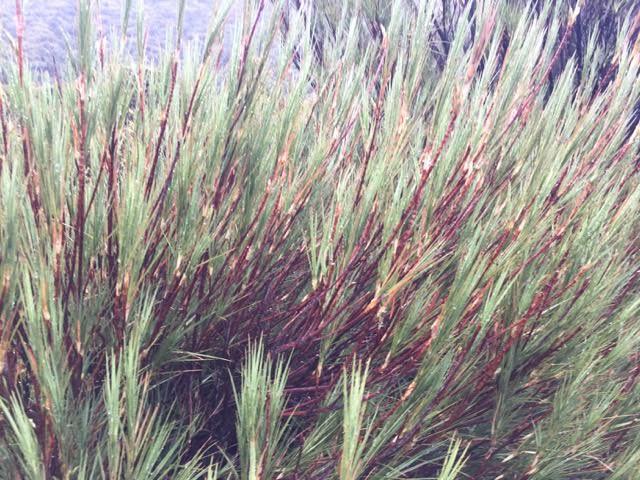 Dracophyllum longifolium