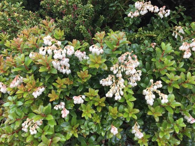 Gaultheria - Snowberry