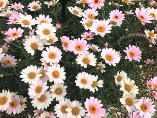 Argyranthemum Honey-Bees