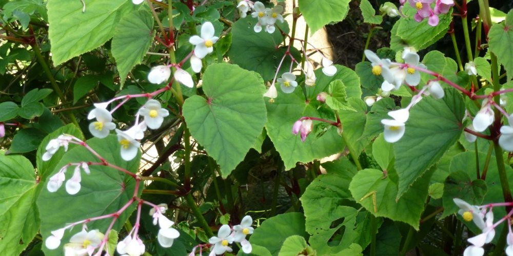 begonia grandis spp in the garden in september