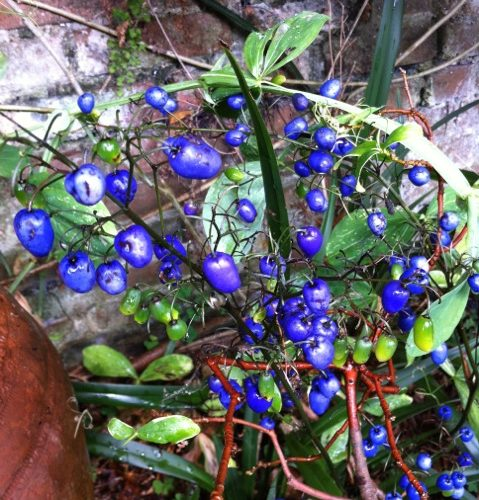 the amazing blue berries of Dianella caerulea