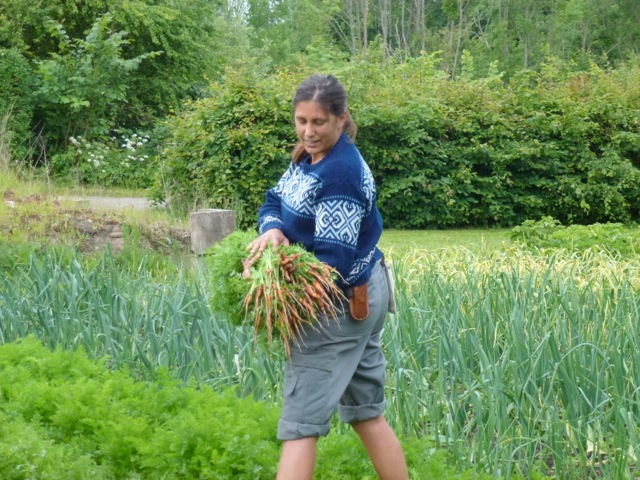 lady harvest carrots from the productive garden