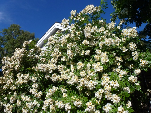 Rosa helenae in bloom