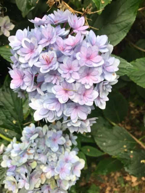 hydrangeas,romance hydrangea