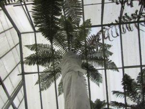 tall tree fern