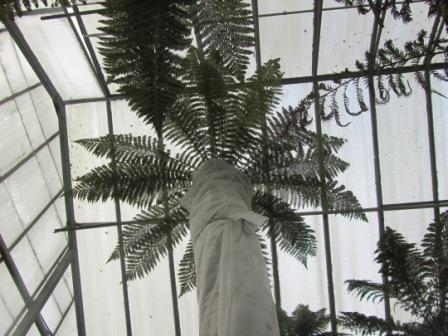tall tree fern