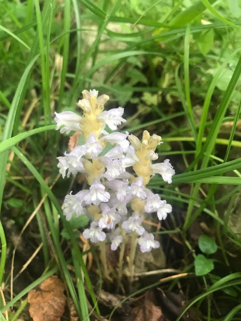 White broomrape,orchids