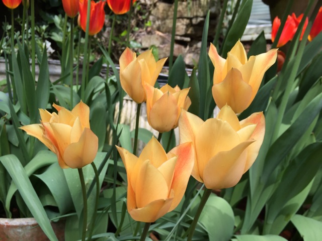 apricot coloured tulips