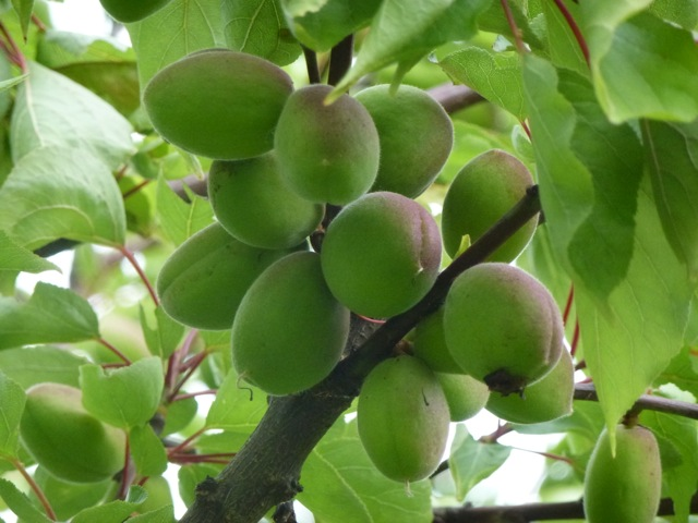 large apricots on branch