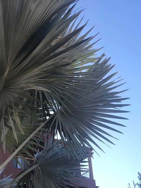 bismarkia palm