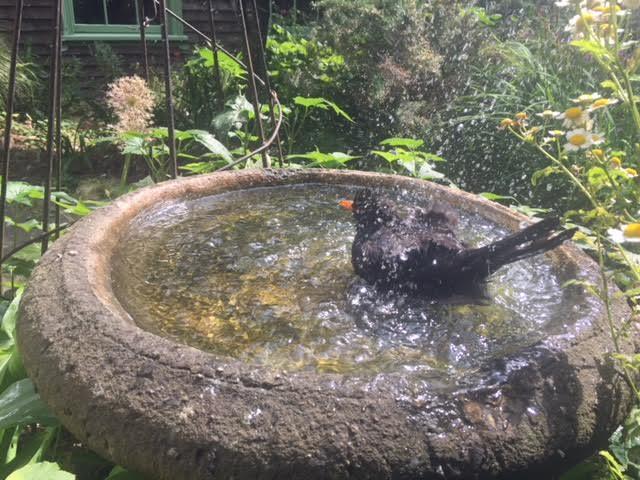 birdbath, blackbird