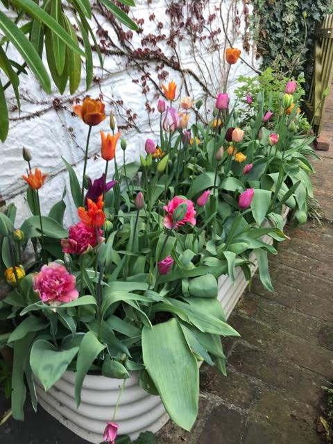tulips,raised bed