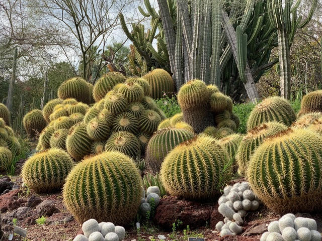 cactus at Huntingdon Gardens