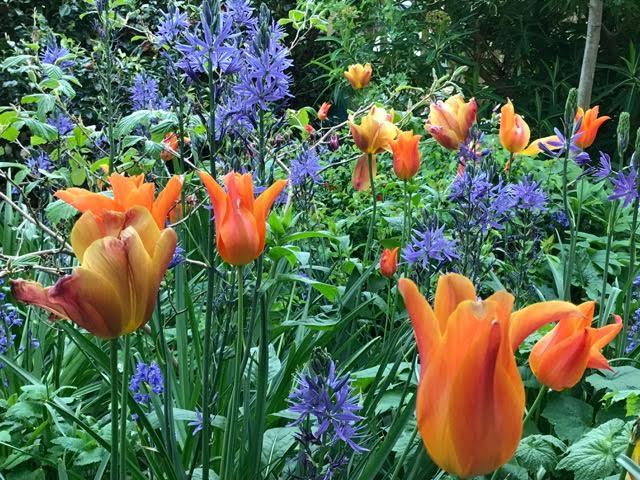 tulips, cammassias, tulip ballerina