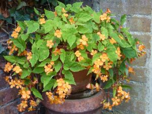 peach coloured begonia cascades over terracotta pot