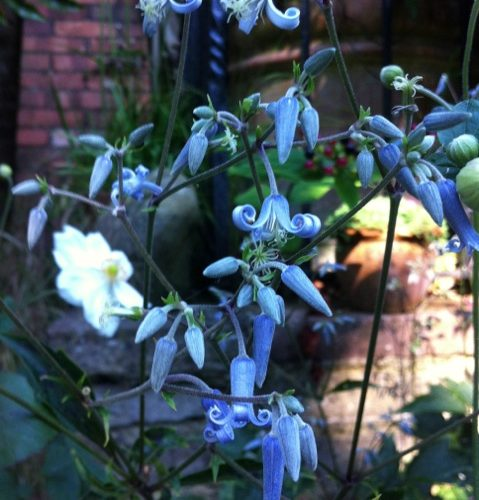 blue clematis tubulosa in full flower